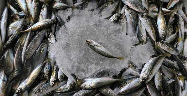 Balıkçı tezgahlarında hamsinin yerini alan  sardalya, tezgahları şenlendirdi