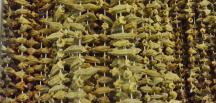 Kuru Bamya fiyatı fıstık fiyatlarını solladı