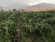 Antalya'da dolu ve sağanak tarım arazilerine zarar verdi