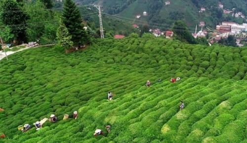 Türkiye 103 ülkeye 10,8 milyon dolarlık çay ihraç etti