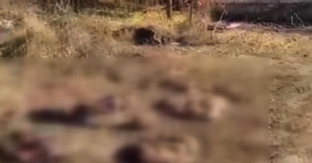 Kelbecer'den ayrılan Ermeniler hayvanları da katlediyor